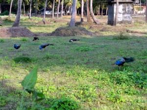 Peacocks around the town