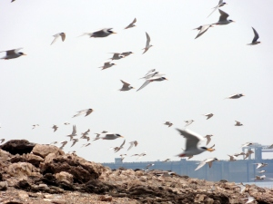 River terns in flight