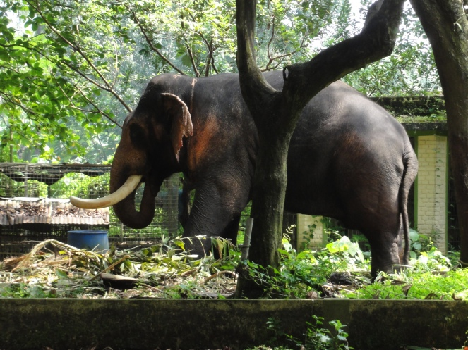 This elephant named Hariprasad, we were given to understand is savagely fierce. Hence it has been housed in isolation!