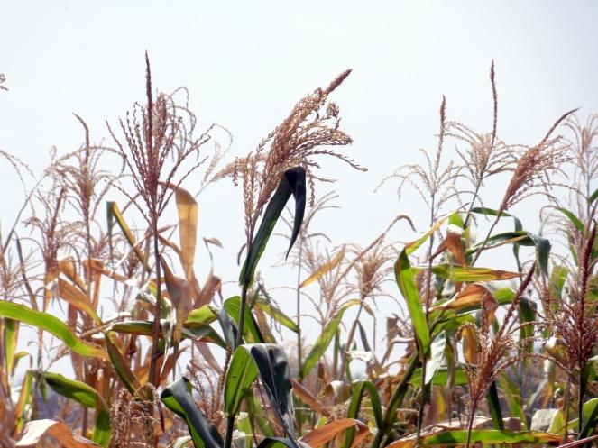 Jowar fields